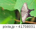 蛾 揚羽擬蛾 アゲハモドキガ科の写真 41708031