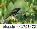 Beautiful Starling sitting in a cherry tree 41708472
