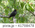 Blackbird stealing cherries in a tree 41708478