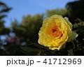 牡丹 花 植物の写真 41712969