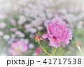 バラに囲まれたバラ 41717538