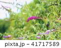 植物 花 ブッドレアの写真 41717589