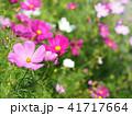 コスモス 花 植物の写真 41717664