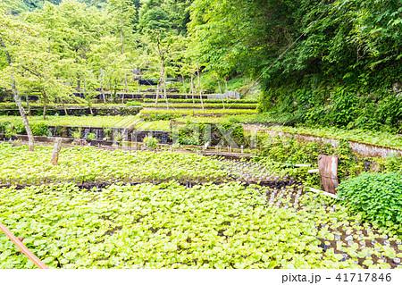 (静岡県)筏場のワサビ田 41717846