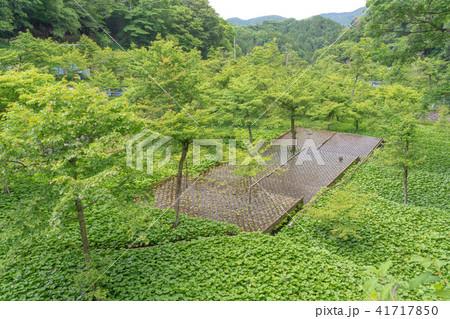 (静岡県)筏場のワサビ田苗 41717850