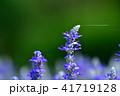 植物 花 サルビアの写真 41719128