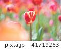 チューリップ 花 植物の写真 41719283