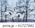 タンチョウ 鶴 ダンスの写真 41727882