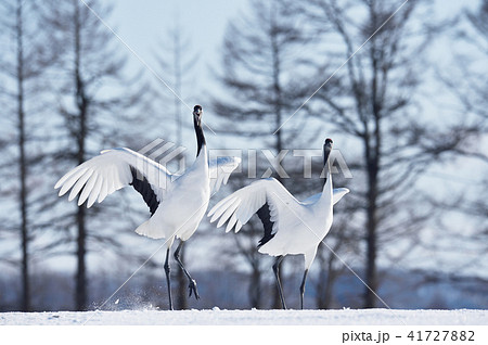 二羽で踊るタンチョウ(北海道) 41727882