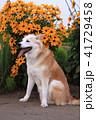 笑顔でj見つめる犬とオレンジ色の花 41729458