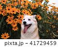 笑顔でj見つめる犬とオレンジ色の花 41729459
