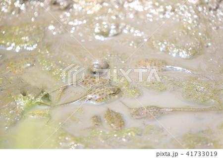 田んぼのたまり水で生きながらえるオタマジャクシ 泥水 ジャンボタニシ 41733019