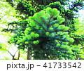 松の木 41733542