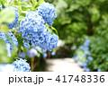 明月院 あじさい 紫陽花の写真 41748336