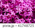 植物 花 芝桜の写真 41748725