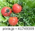 フリルレタスとトマト 41749309