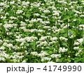 そば畑 41749990
