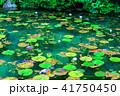 モネの池 41750450