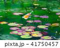 モネの池 41750457