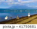 山中湖 白鳥 鳥の写真 41750681