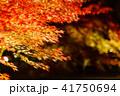 紅葉 ライトアップ 秋の写真 41750694