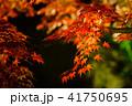 紅葉 ライトアップ 秋の写真 41750695