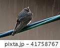 電線 雨 鳥の写真 41758767