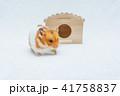 レタスを食べるゴールデンハムスター 41758837