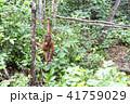 野生の子供オランウータン 41759029