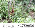 野生の子供オランウータン 41759030