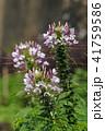 植物 花 クレオメの写真 41759586