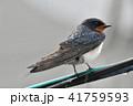 電線 雨 鳥の写真 41759593