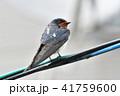 雨 電線 燕の写真 41759600