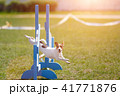 Dog jumping over hurdle in agility competition 41771876