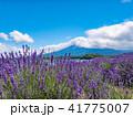 ラベンダー ラベンダー畑 夏の写真 41775007