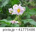 じゃがいも 花 植物の写真 41775486