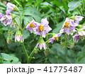 じゃがいも 花 植物の写真 41775487