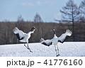 二羽で踊るタンチョウ(北海道) 41776160