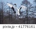 鶴 鳥 タンチョウの写真 41776161
