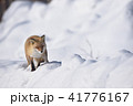 雪とキタキツネ(北海道) 41776167