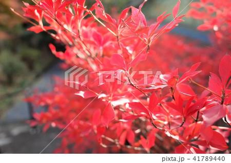 美しい秋のもみじの葉、赤い紅葉 41789440