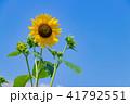 ひまわり 夏 花の写真 41792551