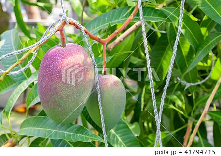 マンゴー農家のビニールハウス風景 41794715