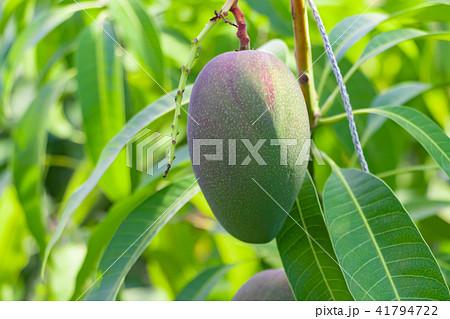 マンゴー農家のビニールハウス風景 41794722