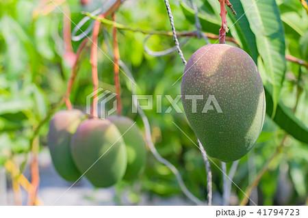 マンゴー農家のビニールハウス風景 41794723