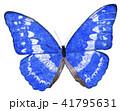 羽を広げたモルフォチョウ 41795631