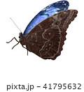 羽を閉じて休憩するモルフォチョウ 41795632