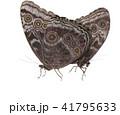 交尾するモルフォチョウ 41795633