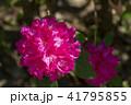 シャクナゲ 石楠花 石南花の写真 41795855