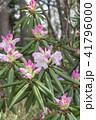 シャクナゲ 石楠花 石南花の写真 41796000